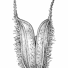 Spikelets: Phleum alpinum. ~ By Elizabeth Farnsworth. ~ Copyright © 2018 New England Wild Flower Society. ~ Image Request, images[at]newenglandwild.org
