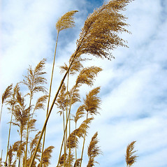 Inflorescences: Phragmites australis. ~ By Donna Kausen. ~ Copyright © 2017 Donna Kausen. ~ 33 Bears Den, Addison, ME 04606