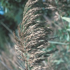 Inflorescences: Phragmites australis. ~ By John Lynch. ~ Copyright © 2018 New England Wild Flower Society. ~ Image Request, images[at]newenglandwild.org