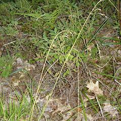 Plant form: Piptatherum canadense. ~ By Jill Weber. ~ Copyright © 2018 Jill Weber. ~ jillweber03[at]gmail.com
