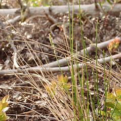 Plant form: Piptatherum pungens. ~ By Curtis Bjork. ~ Copyright © 2019 Curtis Bjork. ~ crbjork[at]gmail.com ~ E-Flora BC - www.geog.ubc.ca/biodiversity/eflora/