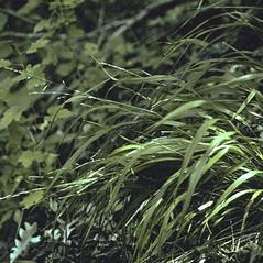 Plant form: Piptatherum racemosum. ~ By Anna Gardner. ~ Copyright © 2019. ~ dlewis[at]ias.edu ~ Ada Hayden Herbarium - Iowa State U.