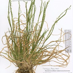 Plant form: Poa alsodes. ~ By The Herbarium of The Morton Arboretum (MOR). ~ Copyright © 2020 The Morton Arboretum. ~ Ed Hedborn, The Morton Arboretum ~ The Herbarium of The Morton Arboretum