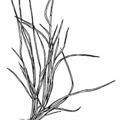 Stems and sheaths: Poa alsodes. ~ By Mary Barkworth. ~ Copyright © 2020 Mary Barkworth. ~ Mary.Barkworth[at]usu.edu ~ Manual of Grasses for North America
