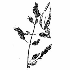 Inflorescences: Poa chapmaniana. ~ By Julian A. Steyermark. ~ Copyright © 2019. ~ Allison Brock, Allison.Brock[at]mobot.org ~ Steyermark, Julian A. 1963. The Flora of Missouri. The Iowa State U. Press, Ames, IA. 1725pp.