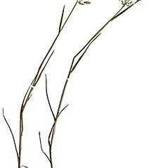 Plant form: Poa compressa. ~ By Anna Gardner. ~ Copyright © 2017. ~ dlewis[at]ias.edu ~ Ada Hayden Herbarium - Iowa State U.