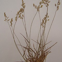 Inflorescences: Poa glauca. ~ By Arthur Haines. ~ Copyright © 2018. ~ arthurhaines[at]wildblue.net