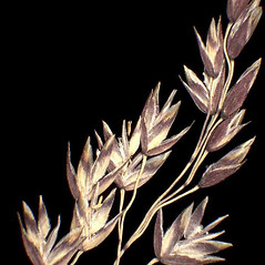 Spikelets: Poa laxa. ~ By Andrea Moro. ~ Copyright © 2020 CC BY-NC-SA 3.0. ~  ~ www.luirig.altervista.org