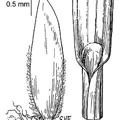 Ligules: Poa nemoralis. ~ By Elsie Froeschner. ~ Copyright © 2019 Ellen L. Froeschner. ~ Ellen L. Froeschner, 1939-A Frankin Blvd., Carmel Indiana 46032 ~ Ada Hayden Herbarium - Iowa State U.