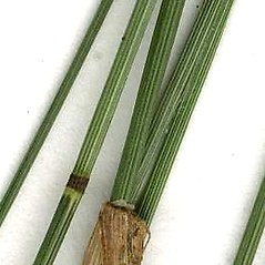 Stems and sheaths: Poa nemoralis. ~ By CONN Herbarium. ~ Copyright © 2018 CONN Herbarium. ~ Requests for image use not currently accepted by copyright holder ~ U. of Connecticut Herbarium - bgbaseserver.eeb.uconn.edu/