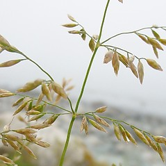 Spikelets: Poa palustris. ~ By Glen Mittelhauser. ~ Copyright © 2019 Glen Mittelhauser. ~ www.mainenaturalhistory.org