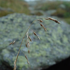 Inflorescences: Poa pratensis. ~ By Arthur Haines. ~ Copyright © 2018. ~ arthurhaines[at]wildblue.net