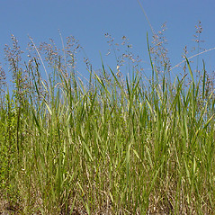Plant form: Poa pratensis. ~ By Glen Mittelhauser. ~ Copyright © 2017 Glen Mittelhauser. ~ www.mainenaturalhistory.org