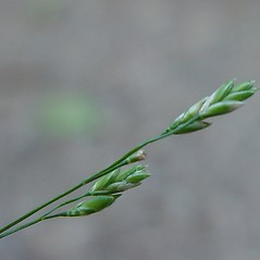 Spikelets: Poa saltuensis. ~ By Arthur Haines. ~ Copyright © 2019. ~ arthurhaines[at]wildblue.net