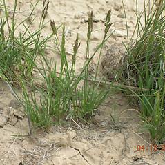 Plant form: Poa secunda. ~ By Sheri Hagwood. ~  Public Domain. ~  ~ Encyclopedia of Life - www.eol.org