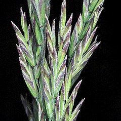 Inflorescences: Poa secunda. ~ By Gerry Carr. ~ Copyright © 2019 Gerry Carr. ~ gdcarr[at]comcast.net ~ Oregon Flora Image Project - www.botany.hawaii.edu/faculty/carr/ofp/ofp_index.htm