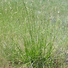 Plant form: Schedonorus arundinaceus. ~ By Keir Morse. ~ Copyright © 2019 Keir Morse. ~ www.keiriosity.com ~ www.keiriosity.com