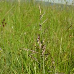 Inflorescences: Schedonorus arundinaceus. ~ By Glen Mittelhauser. ~ Copyright © 2019 Glen Mittelhauser. ~ www.mainenaturalhistory.org