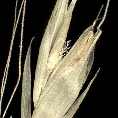Spikelets: Schedonorus giganteus. ~ By Andrea Moro. ~ Copyright © 2018 CC BY-NC-SA 3.0. ~  ~ www.luirig.altervista.org
