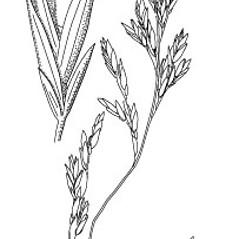 Inflorescences: Schedonorus pratensis. ~ By Anna Gardner. ~ Copyright © 2019. ~ dlewis[at]ias.edu ~ Ada Hayden Herbarium - Iowa State U.