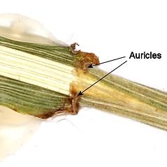 Stems and sheaths: Schedonorus pratensis. ~ By Andrew Nelson. ~ Copyright © 2018 Andrew Nelson. ~ andrew.nelson[at]oswego.edu   ~ Flora of Rice Creek Field Station - www.oswego.edu/academics/opportunities/rice_creek_field_station