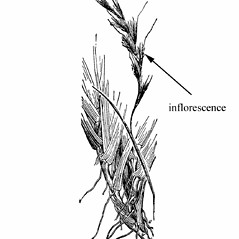 Inflorescences: Schizachyrium littorale. ~ By Agnes Chase. ~  Public Domain. ~ None needed ~ A.S. Hitchcock. 1950. Manual of Grasses of the United States (2nd edition rev. Agnes Chase), USDA Misc. Pub. 200