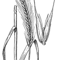 Leaves: Secale cereale. ~ By Elsie Froeschner. ~ Copyright © 2017 Ellen L. Froeschner. ~ Ellen L. Froeschner, 1939-A Frankin Blvd., Carmel Indiana 46032 ~ Ada Hayden Herbarium - Iowa State U.