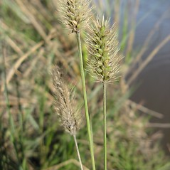 Inflorescences: Setaria parviflora. ~ By Jennifer Garrett. ~ Copyright © 2018 Jennifer Garrett. ~ gemmiferg[at]gmail.com