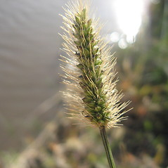 Spikelets: Setaria parviflora. ~ By Jennifer Garrett. ~ Copyright © 2017 Jennifer Garrett. ~ gemmiferg[at]gmail.com