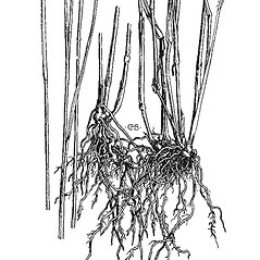 Stems and sheaths: Setaria parviflora. ~ By Mary Barnes Pomeroy. ~ Copyright © 2017 Estate of Herbert Mason. ~ Any use permitted ~ Mason, HL. 1957. A flora of the Marshes of California. U. of California Press, Berkeley and Los Angeles, Library of Congress number 57-7960