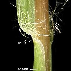 Ligules: Setaria pumila. ~ By Anna Gardner. ~ Copyright © 2018. ~ dlewis[at]ias.edu ~ Ada Hayden Herbarium - Iowa State U.