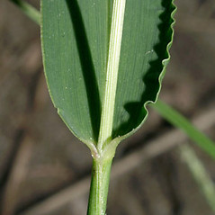 Stems and sheaths: Setaria viridis. ~ By Keir Morse. ~ Copyright © 2017 Keir Morse. ~ www.keiriosity.com ~ www.keiriosity.com