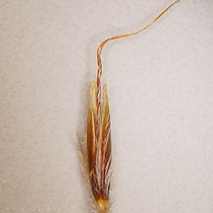 Spikelets: Sorghastrum nutans. ~ By Arthur Haines. ~ Copyright © 2018. ~ arthurhaines[at]wildblue.net