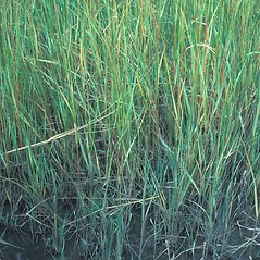 Leaves: Spartina alterniflora. ~ By John Lynch. ~ Copyright © 2019 New England Wild Flower Society. ~ Image Request, images[at]newenglandwild.org
