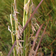 Spikelets: Spartina alterniflora. ~ By Marilee Lovit. ~ Copyright © 2017 Marilee Lovit. ~ lovitm[at]gmail.com