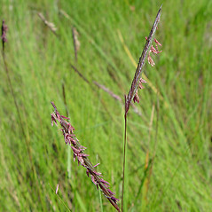 Inflorescences: Spartina patens. ~ By Arthur Haines. ~ Copyright © 2019. ~ arthurhaines[at]wildblue.net