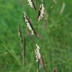 Inflorescences: Spartina patens. ~ By Ben Kimball. ~ Copyright © 2019 Ben Kimball. ~ alpinefin[at]comcast.net