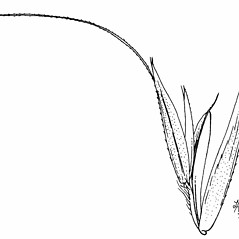 Spikelets: Sphenopholis pensylvanica. ~ By Mary Barkworth. ~ Copyright © 2019 Mary Barkworth. ~ Mary.Barkworth[at]usu.edu ~ Manual of Grasses for North America