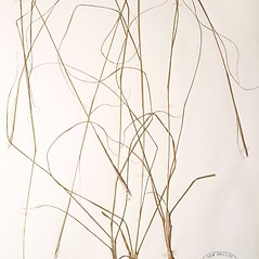 Plant form: Sporobolus clandestinus. ~ By New England Botanical Club. ~ Copyright © 2019 New England Botanical Club. ~ No permission needed for non-commercial uses, with proper credit
