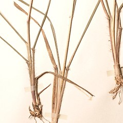 Stems and sheaths: Sporobolus clandestinus. ~ By New England Botanical Club. ~ Copyright © 2019 New England Botanical Club. ~ No permission needed for non-commercial uses, with proper credit