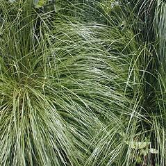 Plant form: Sporobolus heterolepis. ~ By John Hilty. ~ Copyright © 2018 John Hilty. ~ john[at]illinoiswildflowers.info ~ Illinois Wildflowers - www.illinoiswildflowers.info/index.htm
