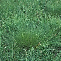 Plant form: Sporobolus heterolepis. ~ By William Cullina. ~ Copyright © 2018 William Cullina. ~ bill[at]williamcullina.com