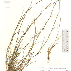 Plant form: Sporobolus neglectus. ~ By The Herbarium of The Morton Arboretum (MOR). ~ Copyright © 2018 The Morton Arboretum. ~ Ed Hedborn, The Morton Arboretum ~ The Herbarium of The Morton Arboretum