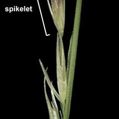 Inflorescences: Sporobolus vaginiflorus. ~ By Anna Gardner. ~ Copyright © 2018. ~ dlewis[at]ias.edu ~ Ada Hayden Herbarium - Iowa State U.