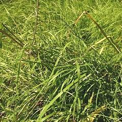 Plant form: Torreyochloa pallida. ~ By Steve Garske. ~ Copyright © 2018 Steve Garske. ~ asimina[at]alphacomm.net