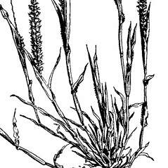 Stems and sheaths: Tragus berteronianus. ~ By Agnes Chase. ~  Public Domain. ~ None needed ~ A.S. Hitchcock. 1950. Manual of Grasses of the United States (2nd edition rev. Agnes Chase), USDA Misc. Pub. 200
