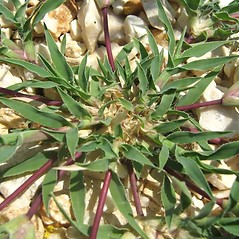 Leaves: Tragus racemosus. ~ By Luigi Rignanese. ~ Copyright © 2020 Luigi Rignanese. ~ Requests for image use not currently accepted by copyright holder ~ Acta Plantarum -  www.actaplantarum.org