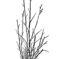 Plant form: Triplasis purpurea. ~ By USDA-NRCS PLANTS Database. ~  Public Domain. ~ None needed ~ USDA-NRCS Plants Database - plants.usda.gov/java/