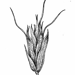 Spikelets: Trisetum flavescens. ~ By Elizabeth Farnsworth. ~ Copyright © 2018 New England Wild Flower Society. ~ Image Request, images[at]newenglandwild.org