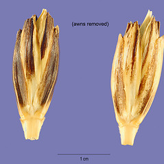 Spikelets: Triticum turgidum. ~ By Tracey Slotta. ~  Public Domain. ~   ~ USDA-NRCS Plants Database - plants.usda.gov/java/